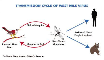 ciclo West Nile Virus